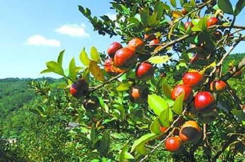 《专家讲坛》NO-4:如何推动衡阳油茶产业升级
