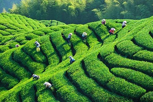 《专家讲坛》NO-6:衡阳茶叶品牌现状及茶叶产业品牌化发展的措施